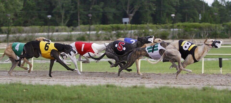 Uk greyhound racing betting back lay betting calculator